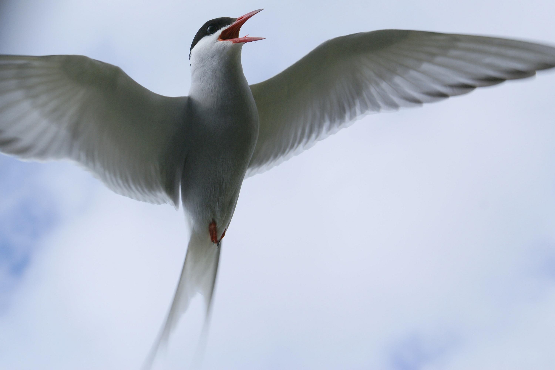 Взмах крыла полярной крачки