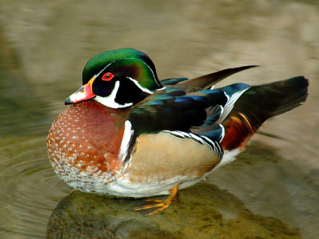 Разноцветная птица обои