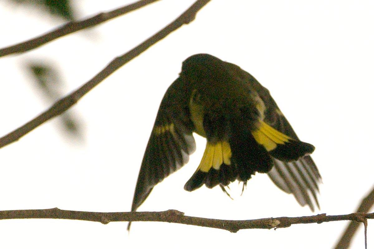 Американская горихвостка летает