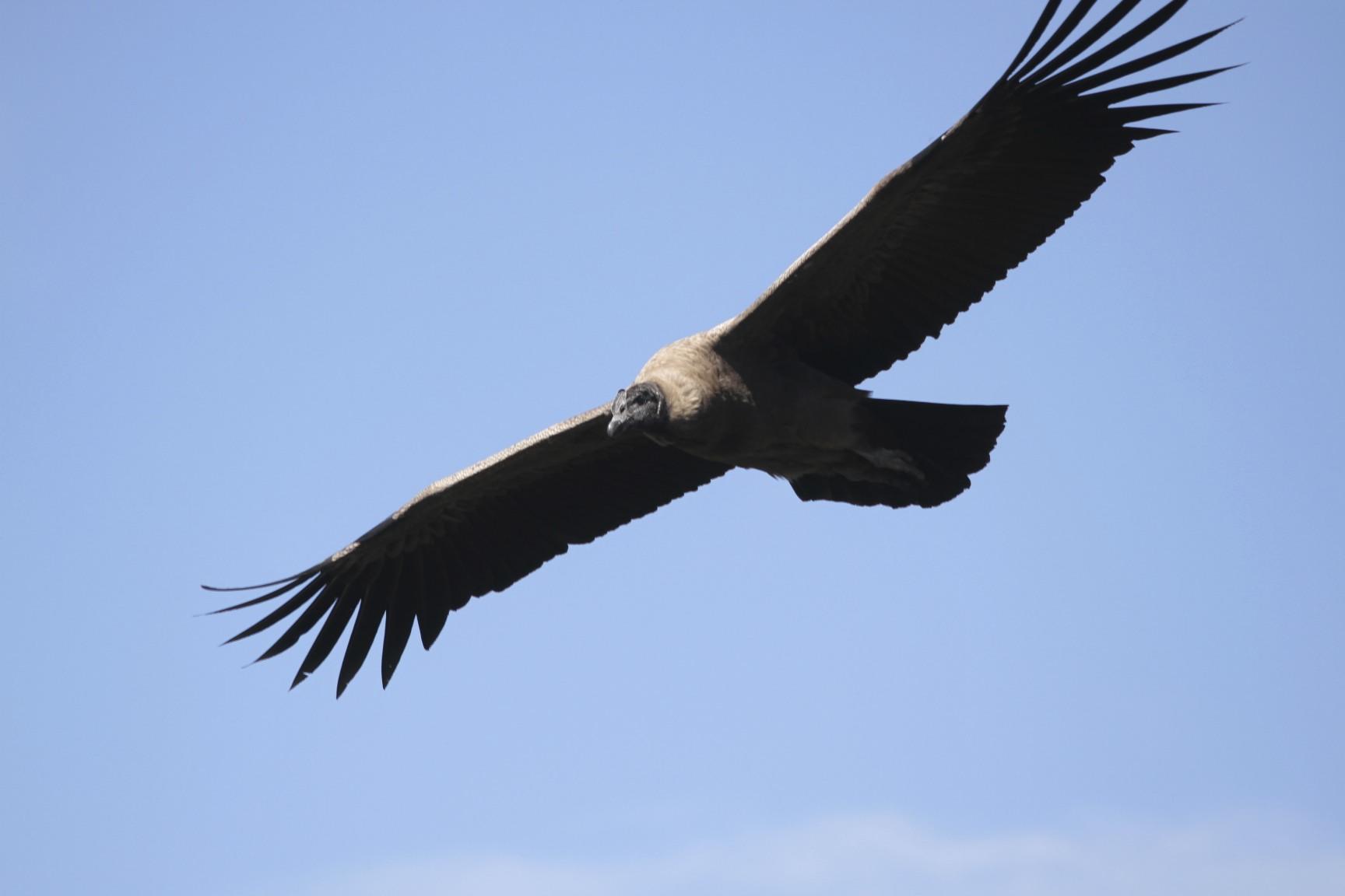 Летящий Андский кондор