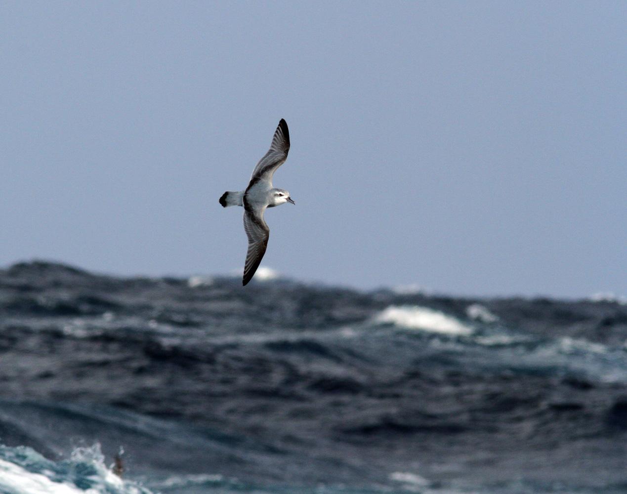 Летающая Антарктическая китовая птичка