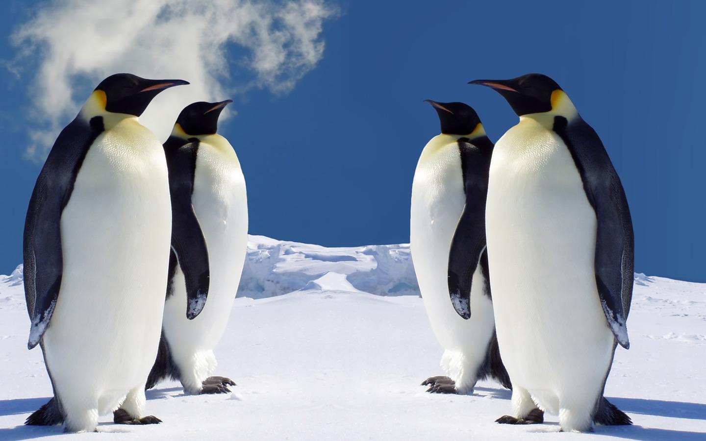 Четыре пингвина обои