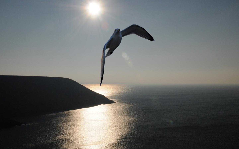Свободная чайка обои