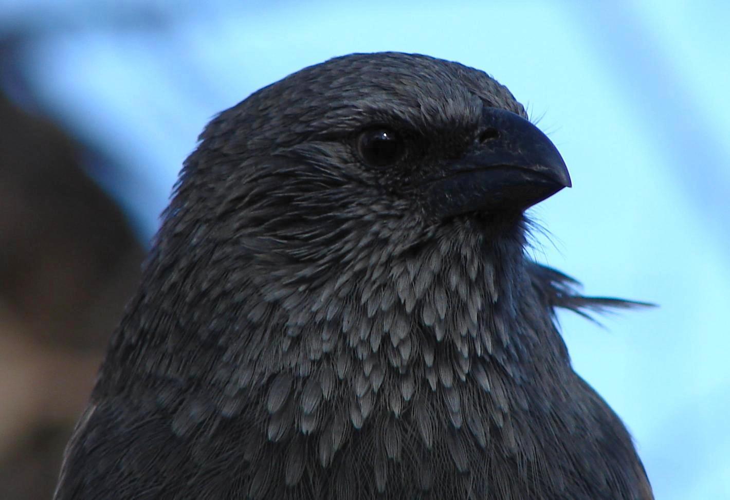 Голова птицы-апостола