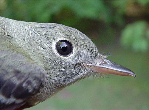 Голова птицы акадианы мухоловки