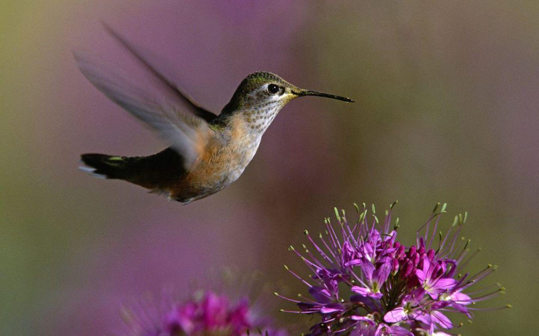 Колибри возле цветов обои