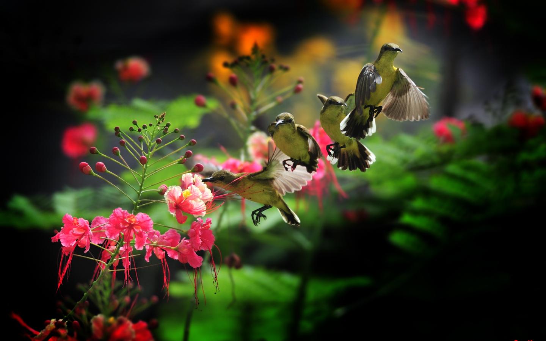 Колибри обои