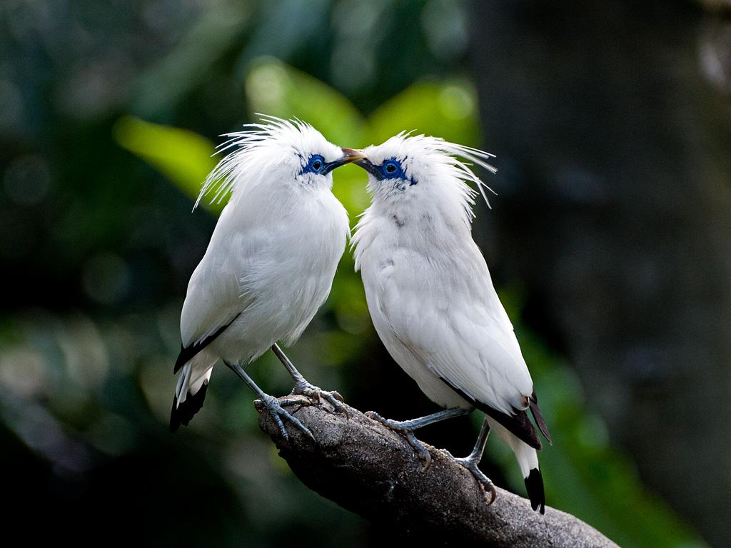 Балийские скворцы целуются