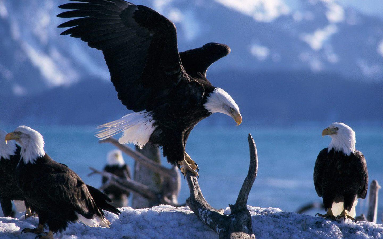 Много белоголовых орланов обои