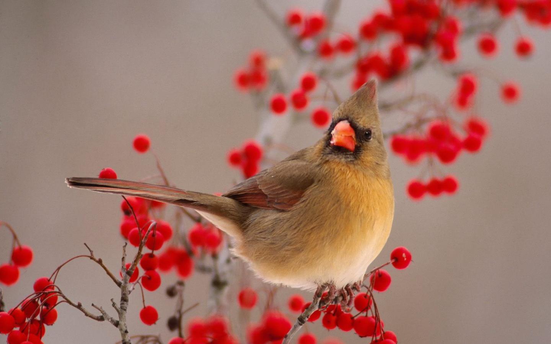 Птица на рябине обои