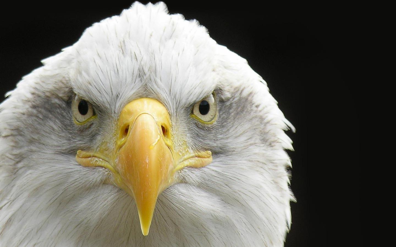 Серьезный белоголовый орлан обои