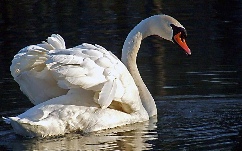 Лебедь обои
