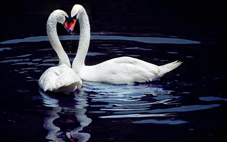 Лебеди на черной воде обои