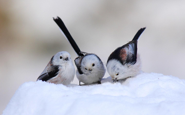 Три птицы обои