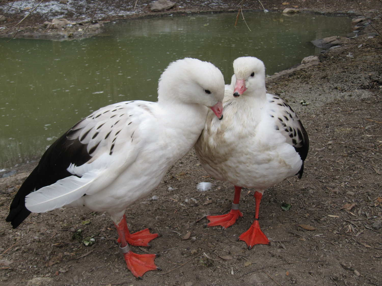 Два Андских гуся