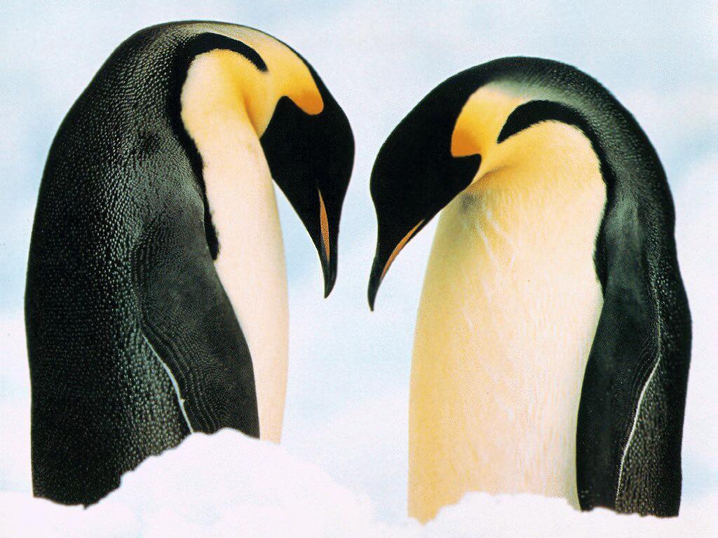 Два пингвина обои