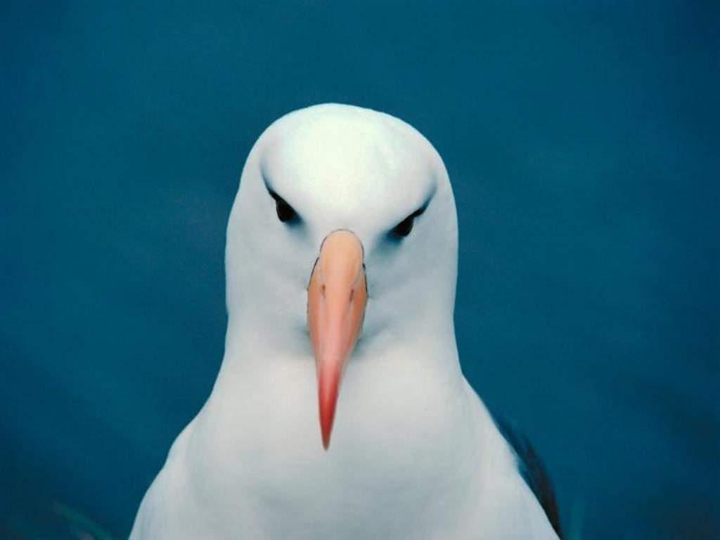 Белая чайка обои